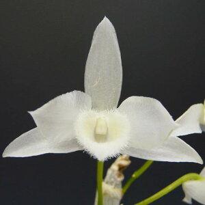 【花なし株】デンドロビュームパリシーアルバDen.parishiivar.alba原種芳香あり2.5号鉢20cm開花サイズ(BS)