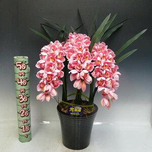 光触媒造花シンビジュームピンク3本立ち