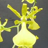 トリコセントラム スプレンディダム アルバTrichocentrum (Onc.)splendidum var. alba【花なし株】【原種】
