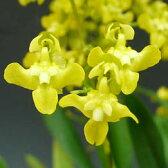 オンシジューム ケイロフォラムOncidium cheirophorum【花なし株】【原種】【芳香性】