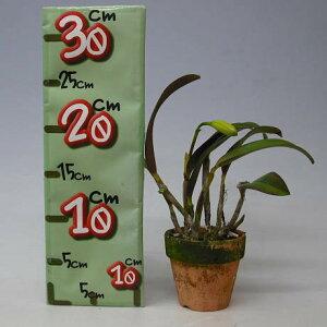 【花なし株】レリオカトレアプリプリ'ユキ'Lc.PriPri'Yuki'(L.pumilaxLc.FlirtatiousOkami)交配種3号鉢20cm開花サイズ(BS)