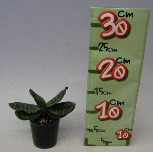 【花なし株】パフィオペディラムデレナティーPaph.delenatii原種芳香あり3号鉢15cm開花サイズ(BS)