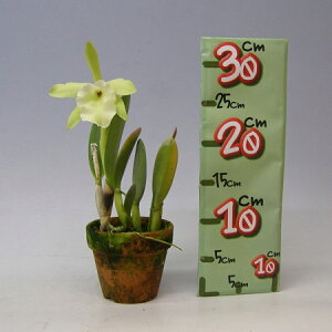 【花なし株】ブラサボラグラウカB.(Rl.)glauca原種3号鉢30cm開花サイズ(BS)
