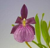 ミルトニア スペクタビリス モレリアナ 'カール'Milt.spectabilis var. moreliana 'Carl' AM/AOS【花なし株】【原種】