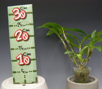 【花なし株】デンドロビュームシルシフローラムDen.thyrsiflorum原種3号鉢40cm開花サイズ(BS)