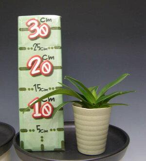 【花なし株】パフィオペディラムツヤイケダPaph.TsuyaIkeda交配種3号鉢25cm開花サイズ(BS)