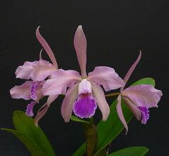 カトレア ビクトリアレギネ C.victoria-reginae【花なし株】【原種】