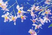 オンシジューム オーニソリンカムOncidium ornithorhyncum【花なし株】【原種】【芳香性】