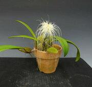 バルボフィラム メディーセ Bulbophyllum