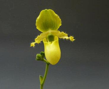 【花なし株】パフィオペディラムプリムリナムPaph.primulinum原種3号鉢15cm開花サイズ(BS)