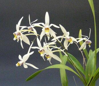 【花なし株】エピゲニュームシンビディオイデスEpigeneiumcymbidioides原種3号鉢25cm開花サイズ(BS)