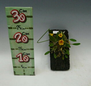 【花なし株】デンドロビュームアグレガタムジェンケンシーDen.aggregatumvar.jenkensii写真より株は大きくなっています。原種ヘゴ板付き*25cm開花サイズ(BS)