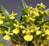 オンシジューム ロンギペスOnc.longipes【花なし株】【原種】