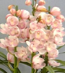 栽培用で花は付いておりません。シンビジューム '愛子様'Cym. 'Aikosama'【花なし株】【耐...
