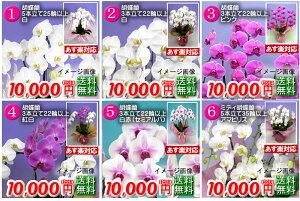 10000円胡蝶蘭