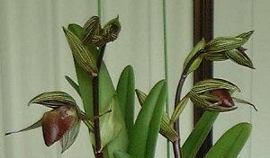 Paph.rothschildianum パフィオペディラム ロスチャイルディアナム