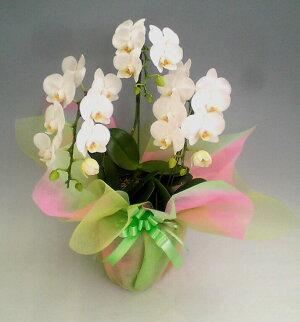 ミディ胡蝶蘭アマビリス3本立ち28輪以上選べる2色(白・さくら色ピンク)+ミックス花ギフト