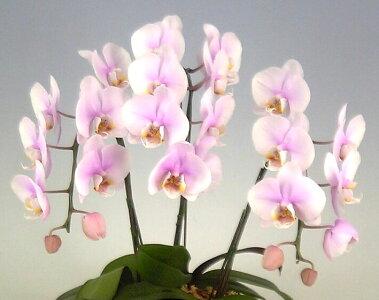 ミディ胡蝶蘭桜ピンク10本立ち70輪以上時期によって品種が変わるため花の色は多少かわります