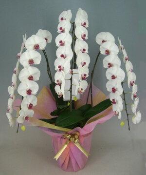 胡蝶蘭大輪白赤(セミアルバリップ)3本立ち40輪以上