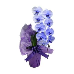 胡蝶蘭大輪パープルエレガンス紫1本立ち