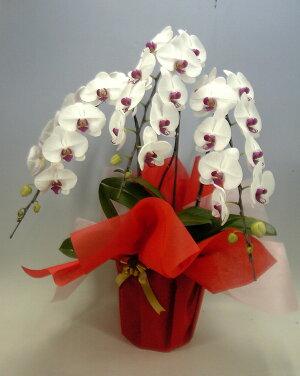 胡蝶蘭大輪白赤(セミアルバリップ)3本立ち36輪以上