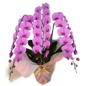 胡蝶蘭大輪3本立ち40輪以上選べる3色(白・ピンク・白赤リップ)花ギフト