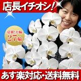 胡蝶蘭 大輪 白 3本立ち 27輪【あす楽対応】【送料無料】