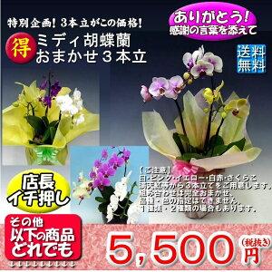 ミディ胡蝶蘭アマビリス2本立ち15輪以上