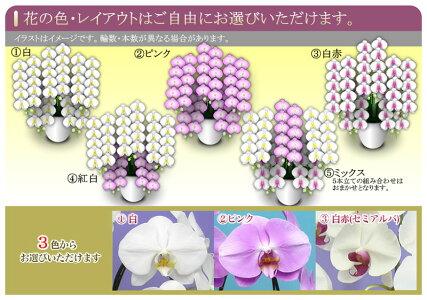 胡蝶蘭大輪5本立52輪以上選べる3色(白・ピンク・白赤リップ)+ミックス花ギフト