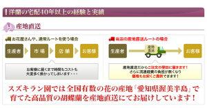 胡蝶蘭大輪白3本立ち27輪【あす楽対応】【送料無料】
