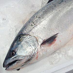今が旬!魚体が大きく脂のり最高です。サクラマス【桜マス】【送料無料】期間限定