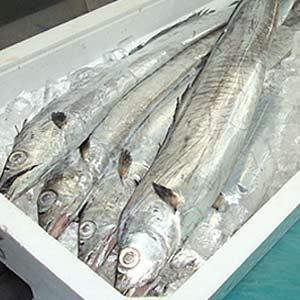 新鮮!脂ののった太刀魚 1尾(700g前後) 【北海道・九州・沖縄・離島はお届け不可】