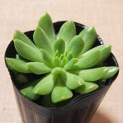 多肉植物 エケベリア アイリッシュミント