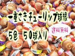 【送料無料】【花色おまかせ】ヒヤシンス水栽培ポット付き3球