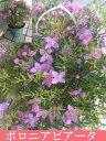 星形の花に葉からはミントに似た爽やかな香りが漂いますボロニア ピアータ   5号鉢 【ボロ...