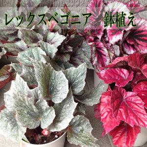 とても魅力的な葉や姿を持つものが多い種類!育てる楽しみは格別です。レックスベゴニア【観葉...