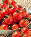 【送料無料】千果99ミニトマト1000粒【トマト種】【タキイのタネ】【野菜の種】