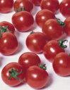 【郵便送料無料】キャロルスターミニトマト1000粒【トマト種】【タキイのタネ】【野菜の種】