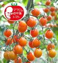 マロウの地中海トマトピッコラカナリアミニトマト種子100粒【イタリアトマト】【野菜の種】