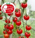 マロウの地中海トマトプチポンロッソ超ミニトマト種子8粒【イタリアトマト】【野菜の種】【郵便利用で送料無料】
