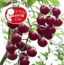 マロウの地中海トマトプチポンバイオレット超ミニトマト種子100粒【イタリアトマト】【野菜の種】【郵便利用で送料無料】
