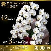 プレミアム胡蝶蘭大輪3本立ち42輪〜47輪(つぼみ含む)鉢が隠れる大迫力