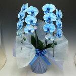 【送料無料・消費税込み】ブルーエレガンス胡蝶蘭とても綺麗なブルー胡蝶蘭自宅用にもプレゼント用にも女性に人気のブルーエレガンス胡蝶蘭を新入荷