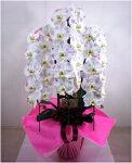 胡蝶蘭の芸術化粧蘭胡蝶蘭3本立ちに職人が手作業でした装飾が光ります。TVでも話題になった化粧蘭プラチナ(ケショウラン)をついに入荷