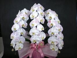 胡蝶蘭の芸術化粧蘭胡蝶蘭5本立ちに職人が手作業でした装飾が光ります。TVでも話題になった化粧蘭プラチナ(ケショウラン)をついに入荷