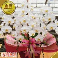 胡蝶蘭5本立45輪〜(蕾含む)ギフト開店祝いに最適送料無料