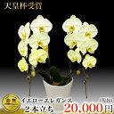 黄色の胡蝶蘭イエローエレガンス 黄色の胡蝶蘭 変わり胡蝶蘭 とても綺麗...