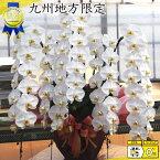 胡蝶蘭5本立ち70輪以上 蕾含む 九州地方 福岡県、佐賀県、長崎県、熊本県、大分県、宮崎県、鹿児島県