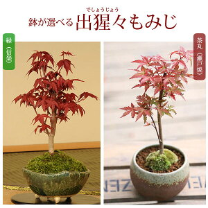 [Mother's day gifts] [Same-day delivery possible!] [Free shipping] ◇ Rakuten 1st place ◇ Small Bonsai: Out Chinese cabbage maple (Shigaraki pottery) * You can choose the pot [for tomorrow music] [tomorrow music _ Saturday business]