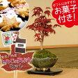 【即日出荷可!】小品盆栽:出猩々もみじ(信楽焼鉢)もみじの天ぷらセット*【送料無料】
